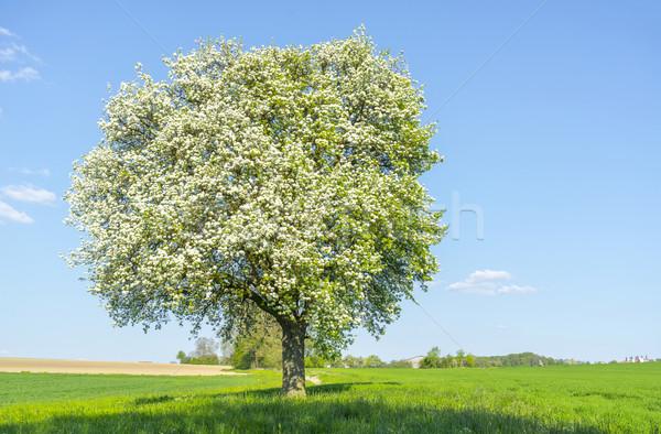 árvore frutífera primavera tempo idílico ensolarado cenário Foto stock © prill