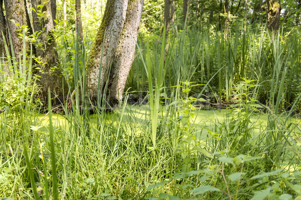 sunny wetland scenery Stock photo © prill