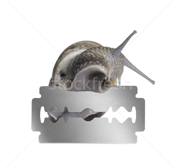 Grapevine snail and razor blade Stock photo © prill