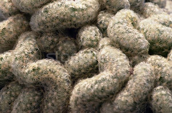 cactus closeup Stock photo © prill