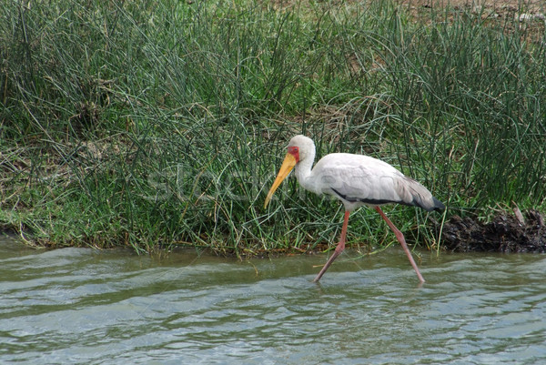 waterside wading Yellow-billed Stork Stock photo © prill