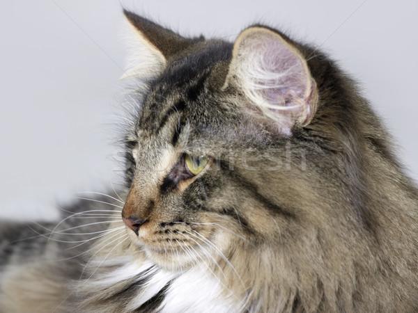 Norwegian Forest Cat Stock photo © prill