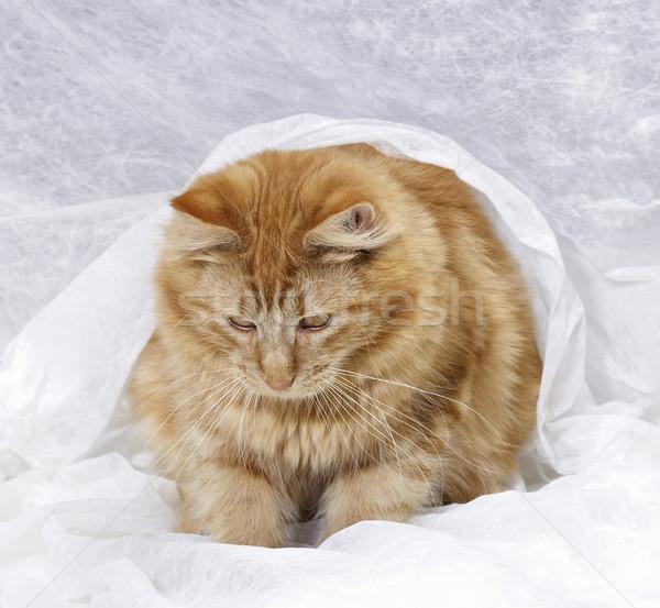 Maine kotek czerwony brązowy biały Zdjęcia stock © prill