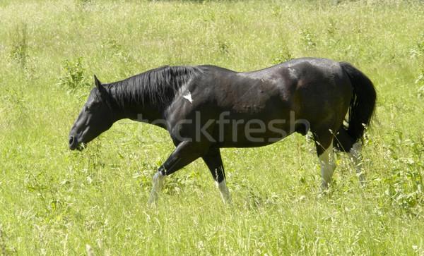 dark horse in sunny ambiance Stock photo © prill