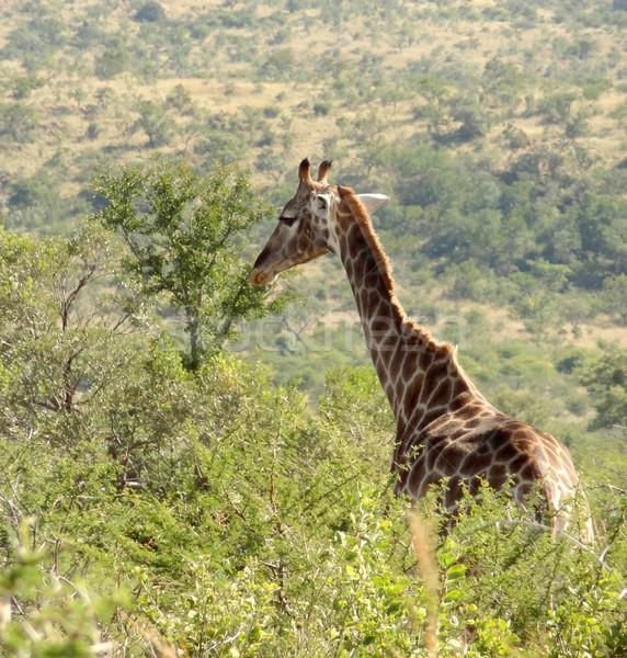 Girafe Afrique du Sud paysages herbe usine animaux Photo stock © prill