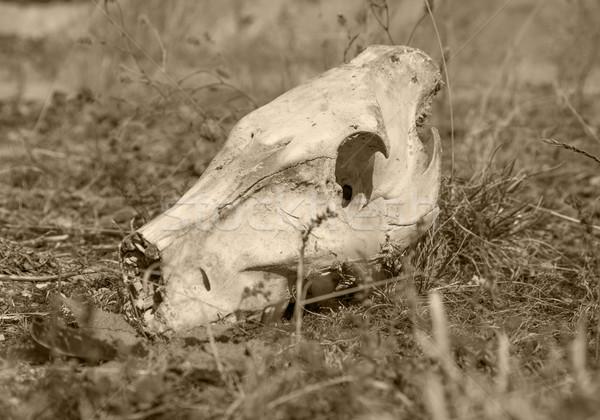 wild pig skull Stock photo © prill
