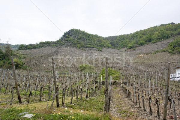 vineyard in the Vulkan Eifel Stock photo © prill
