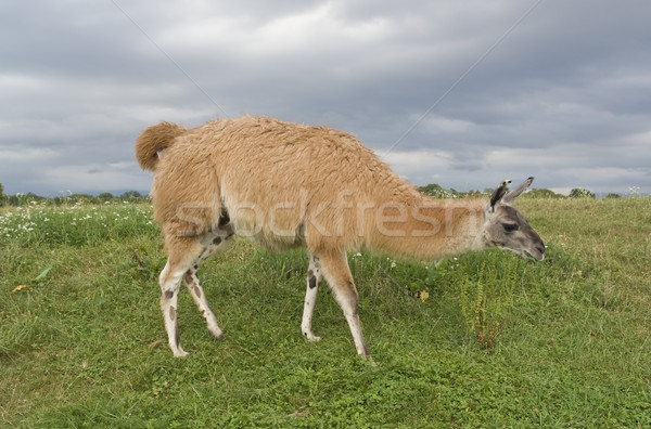 lama in stormy ambiance Stock photo © prill