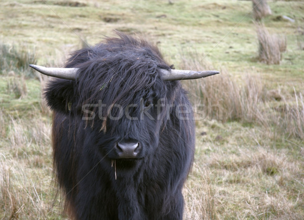 long haired Highland cattle Stock photo © prill