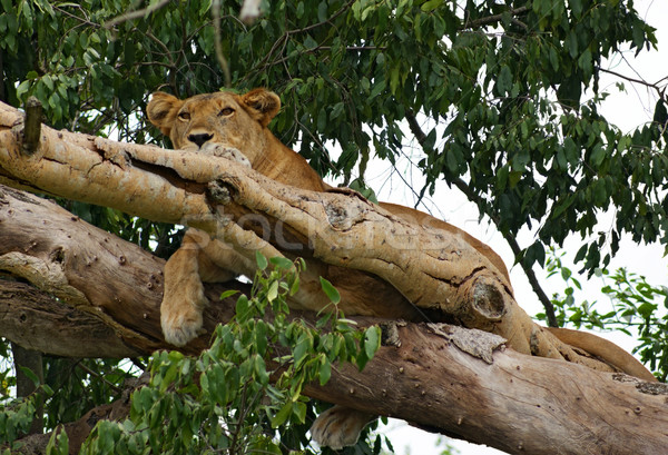 Lion resting in a tree Stock photo © prill