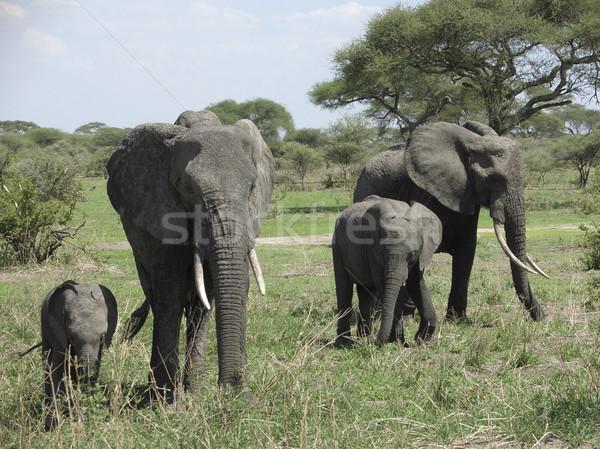 Olifant afrika familie Tanzania veiligheid groep Stockfoto © prill
