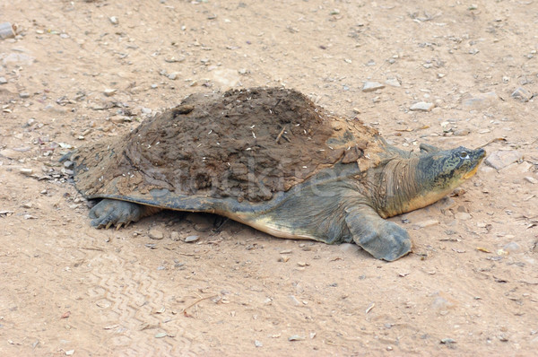 softshell turtle Stock photo © prill