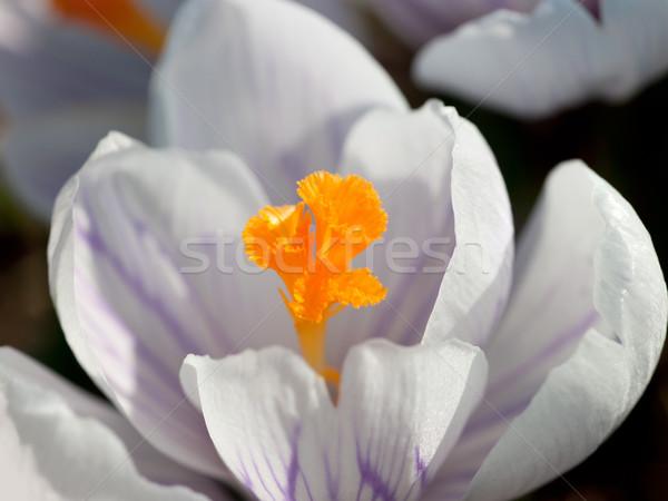 Kikerics részlet lövés virág húsvét tavasz Stock fotó © prill