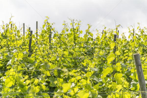 sunny grapevine plants Stock photo © prill