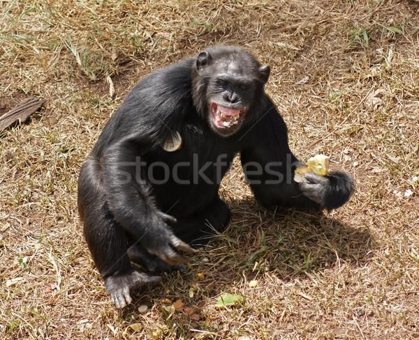 Chimpansee tanden zonnige outdoor shot Oeganda Stockfoto © prill