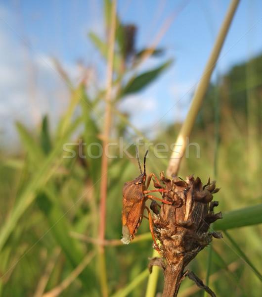 Pentatomidae at summer time Stock photo © prill