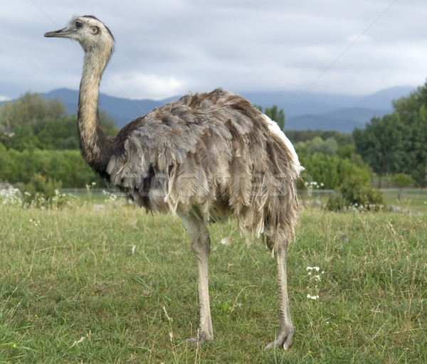 Greater Rhea in cloudy ambiance Stock photo © prill