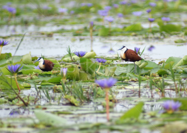 African Jacana and blue flowers Stock photo © prill