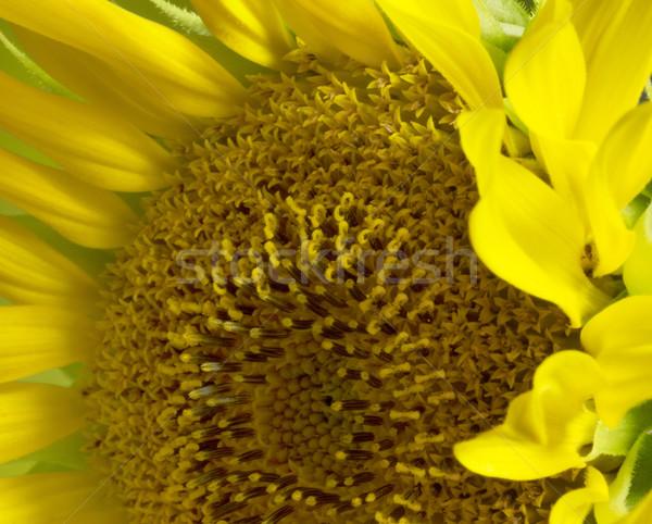 sunflower detail Stock photo © prill