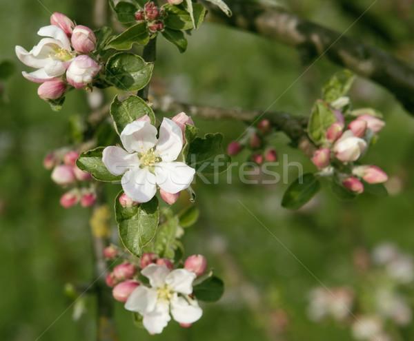 apple blossoms closeup Stock photo © prill
