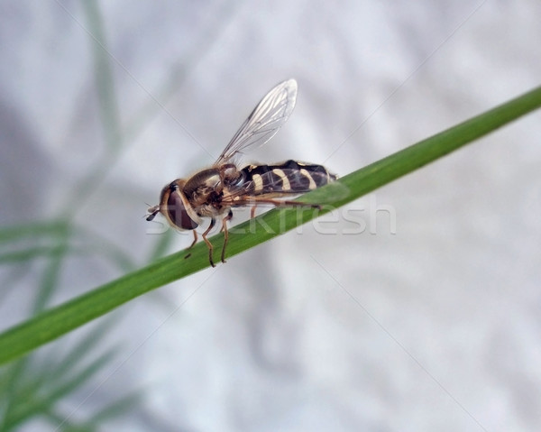 Hoverfly on green stalk Stock photo © prill