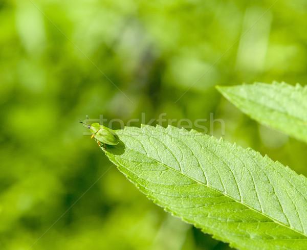 Zöld teknősbéka bogár levél természetes napos Stock fotó © prill