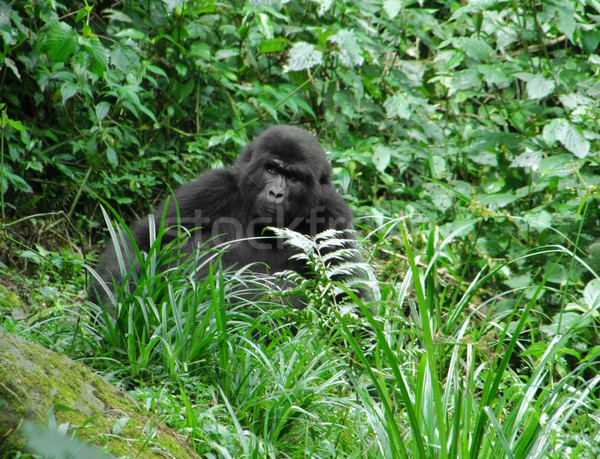 Gorilla in green vegetation Stock photo © prill