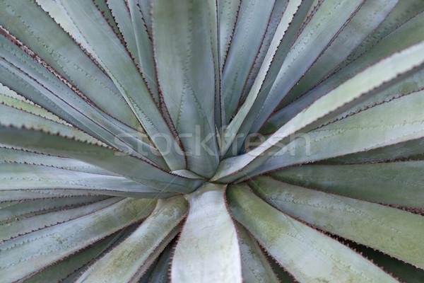 Etli bitki detay soyut tam kare doğa Stok fotoğraf © prill
