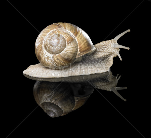 Grapevine snail on black Stock photo © prill