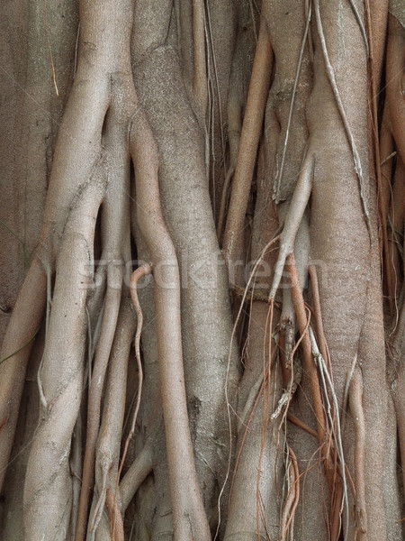 wooden roots Stock photo © prill