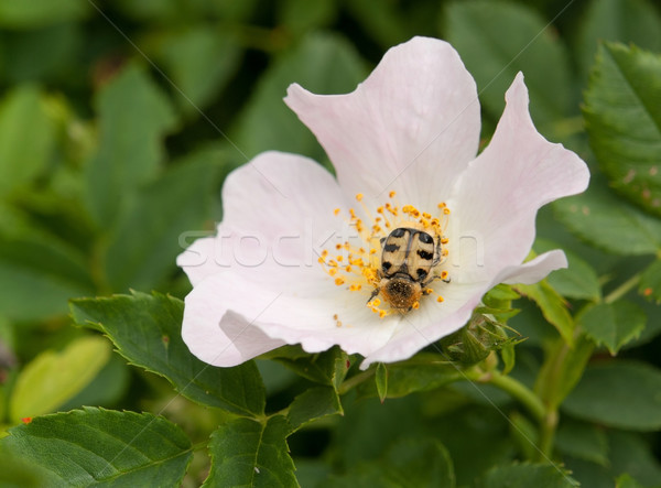 dog rose and beetle Stock photo © prill