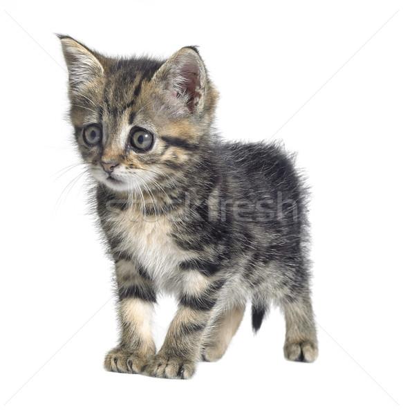 Kedi yavrusu stüdyo fotoğrafçılık muhtaç sevimli yalıtılmış Stok fotoğraf © prill