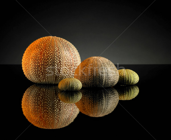 sea urchins Stock photo © prill