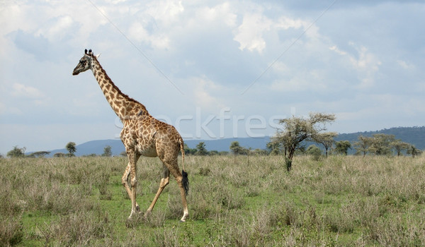 walking Giraffe in the savannah Stock photo © prill