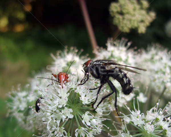 flesh-fly and beetles at summer time Stock photo © prill