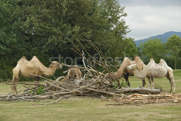 Bactrian Camels at fed Stock photo © prill