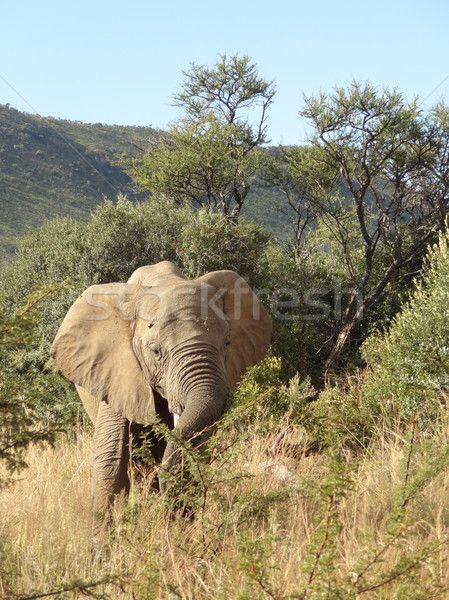 Elephant in South Africa Stock photo © prill