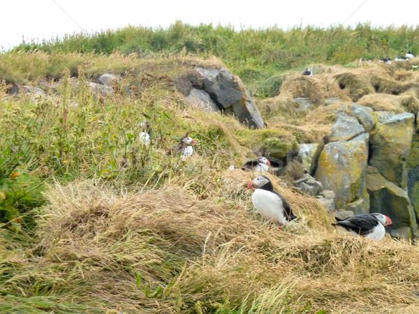 Сток-фото: рок · каменные · животного · Открытый · природного · Исландия