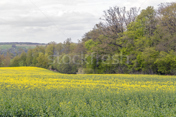 field of rapeseed at spring time Stock photo © prill