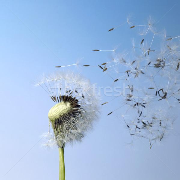blown dandelion seeds Stock photo © prill