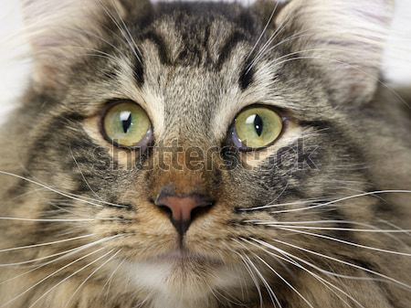 Norwegian Forest Cat portrait Stock photo © prill