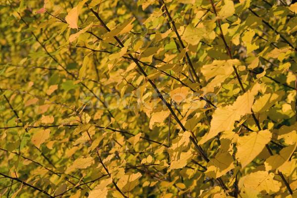 yellow autumn leaves Stock photo © prill