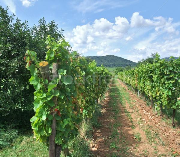 vineyard scenery in Alsace Stock photo © prill