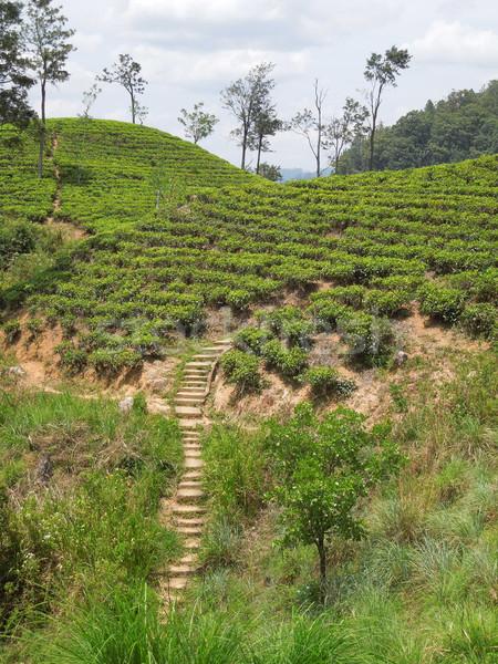 tea plantation Stock photo © prill