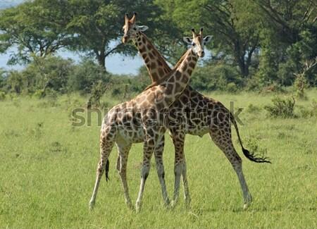 fighting Giraffes in Africa Stock photo © prill
