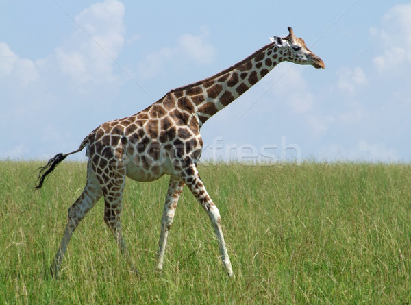 walking Giraffe in african grassland Stock photo © prill