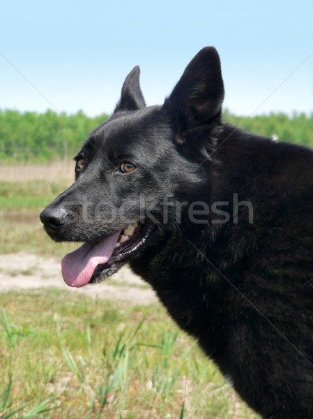 alertness of a dog Stock photo © prill