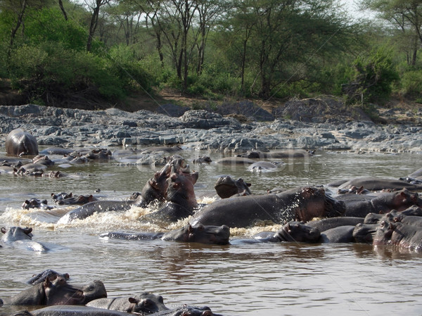 Hippos in Africa Stock photo © prill