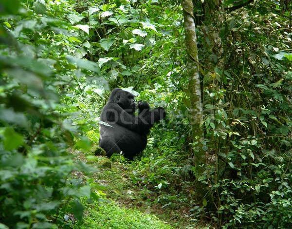 Gorilla in the jungle Stock photo © prill