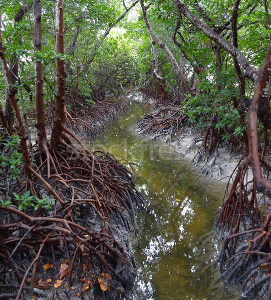 mangroves Stock photo © prill